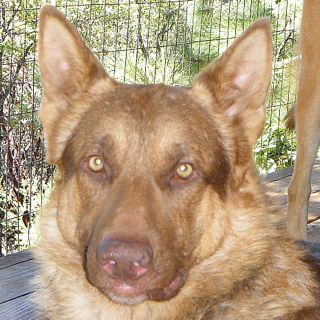 Dog Details California Golden State German Shepherd Rescue